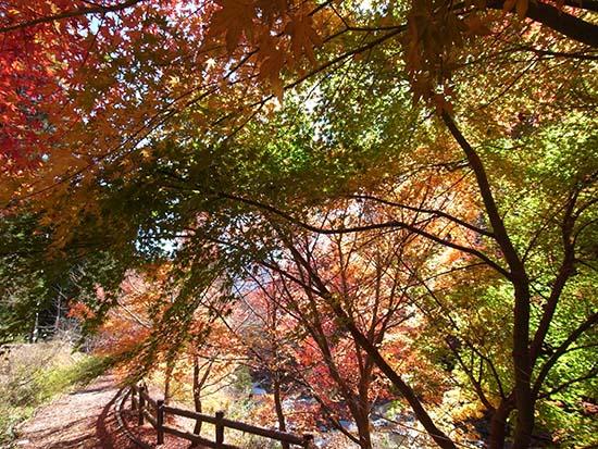 河口湖 紅葉